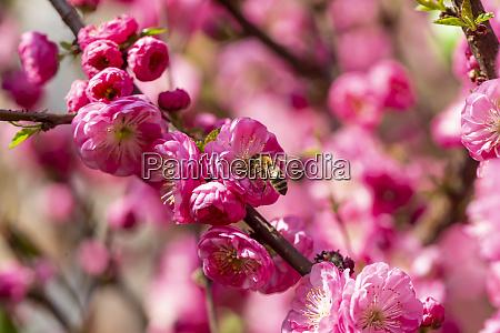 bienen auf rosa bluete von mandelbaum