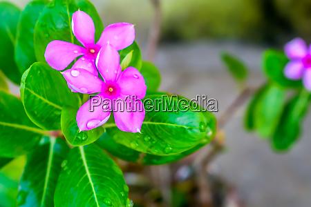 rosa cyclamen mit variabel gemusterten blaettern