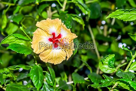 hibiskus rosenmalgine oder rose von sharon