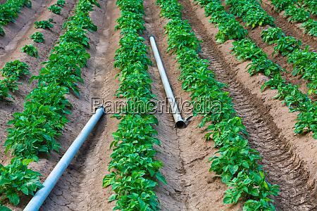 kartoffelfeld mit bewaesserungsrohren