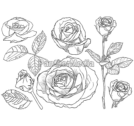 black and white rose drawing set