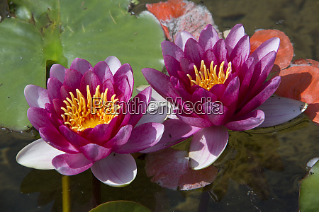 red water lilies nymphea hybrid in