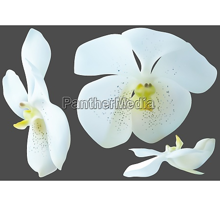 white orchid flowers isolated on gray