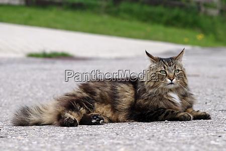 a norwegian forest cat lies on