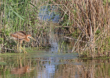 young purple heron ardea purpurea practices
