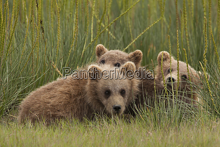brown bear cubs lake clark national