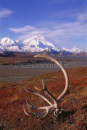 tundra und karibugeweihe im denali national