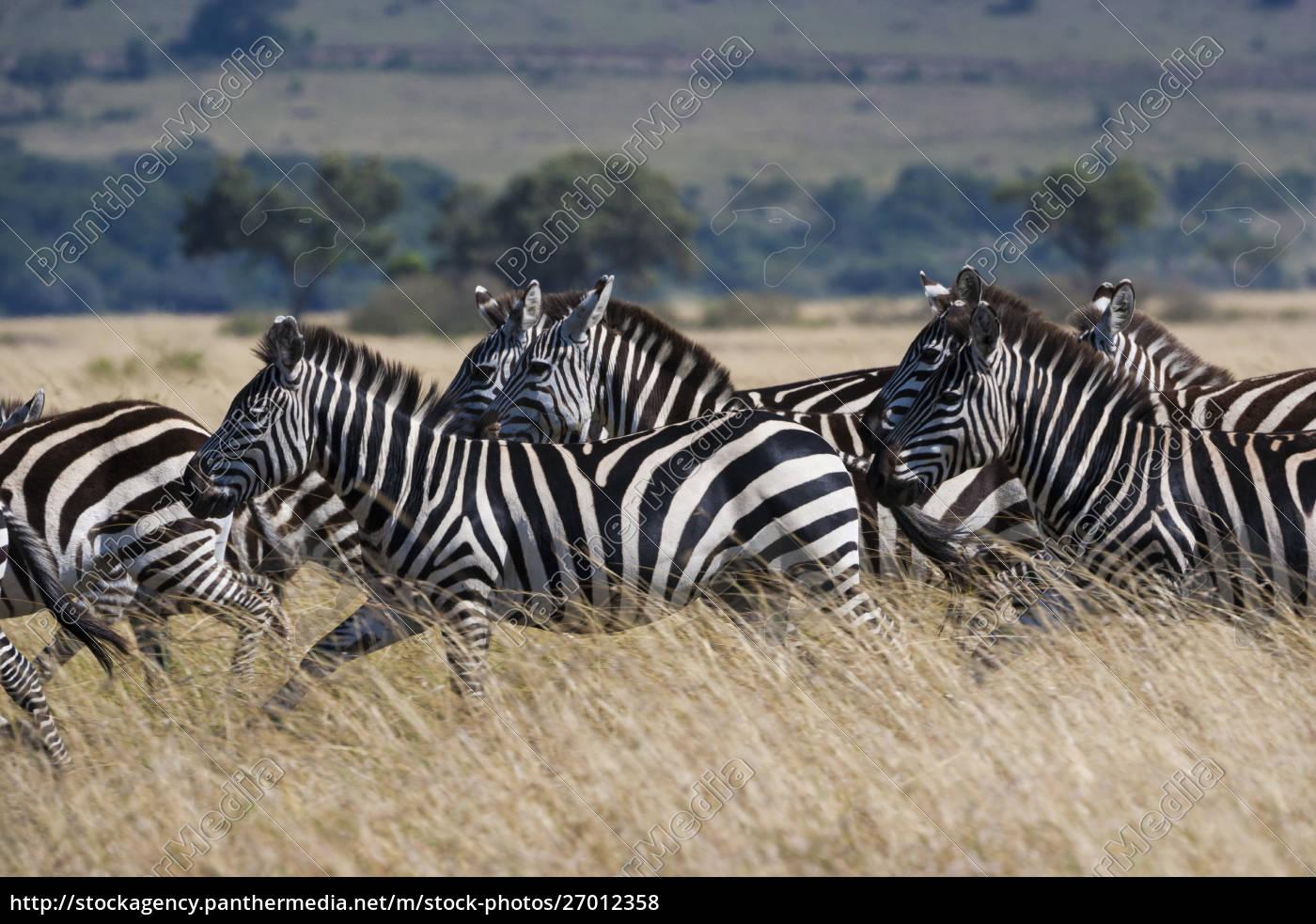 grant's, zebras, , kenya - 27012358