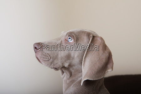 profile of a weimaraner puppy a