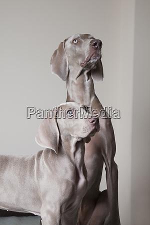an adult weimaraner dog and a