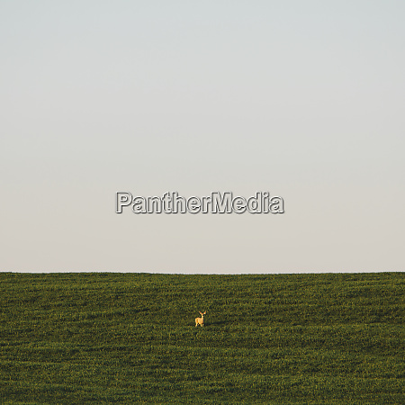 a startled white tail deer in