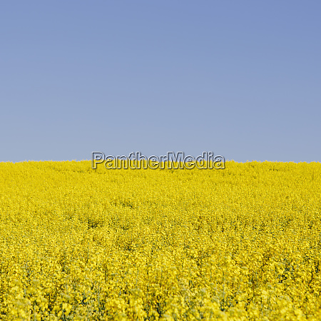 field of blooming mustard seed plants