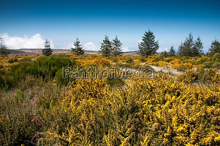 bluehende gelbe genista auf dem plateau