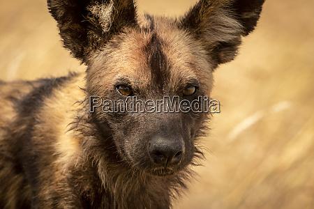 close up of wild dog lycaon