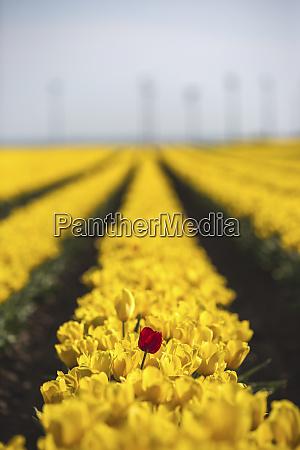 deutschland gelbes tulpenfeld mit einer roten