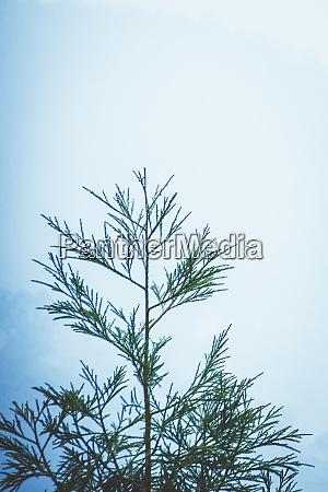 hillside blue spruce tree picea pungens
