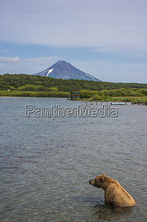 russia kamchatka kurile lake kamchatka brown