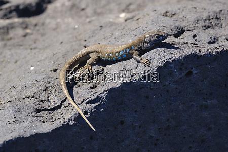 spain canary islands lanzarote atlantic lizard