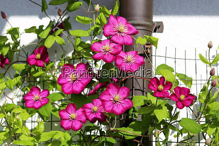 magenta clematis flowers as blind