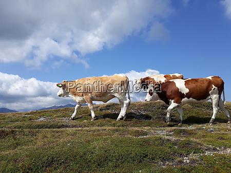 kuehe auf der alp