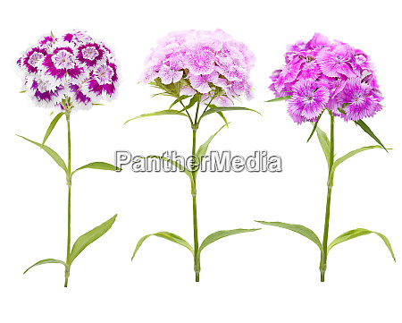 pink and purple carnation flowers