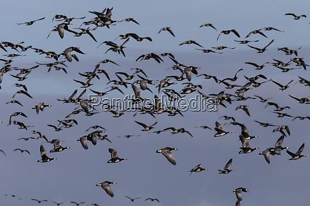 barnacle geese branta leucopsis in flight