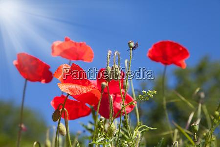 rote mohnblumen in einem feld