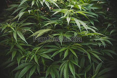 nahaufnahme von marihuana oder cannabispflanzen