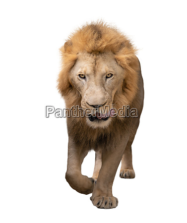 male lion walking isolated on white
