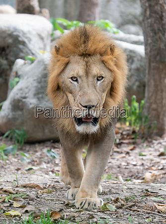 male lion walking in zoo