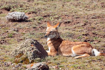 aethiopischer wolf canis simensis AEthiopien
