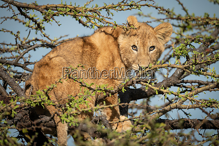 lion cub stands watching camera in