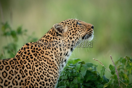 close up of leopard by bush