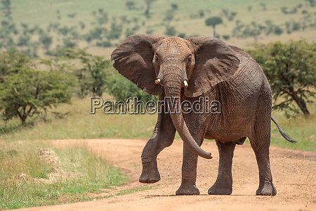 afrikanischer elefant hebt fuss beim UEberqueren