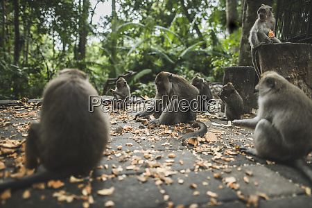 macaques on pavement with leaves in