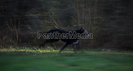 black dog running through woods at