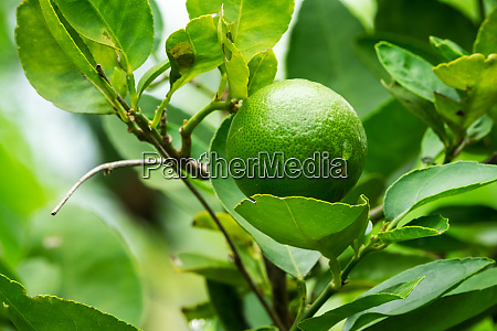 lime fruit on tree