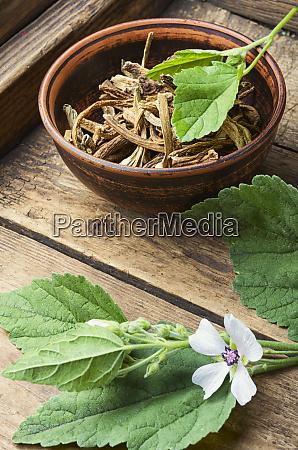 heilpflanze althaea