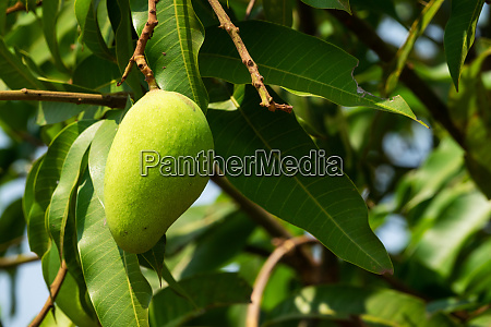 mango fruit tree