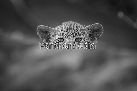 ein leopardenjunge panthera pardus gipfelt ueber