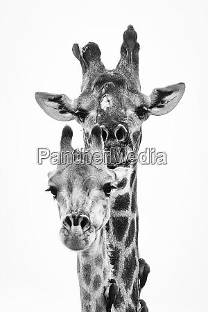 giraffa camelopardalis giraffa ein maennliches und