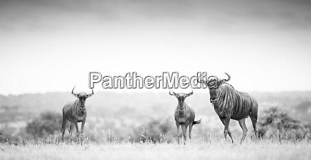 three blue wildebeest connochaetes taurinus stand