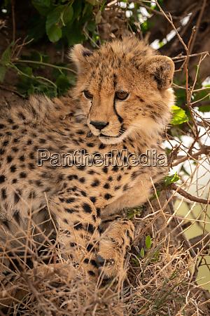 close up of cheetah beside bush