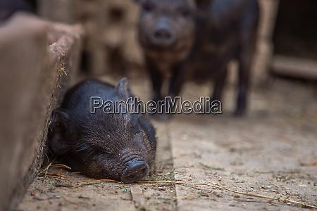 kleine schweine im hof