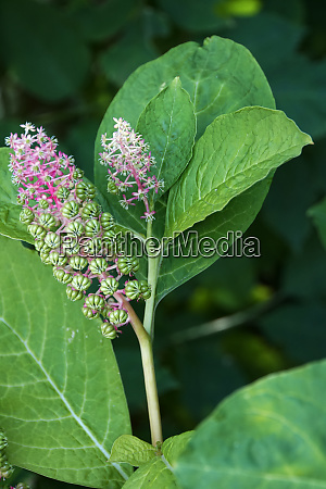 pokeweeds oder tintenbeeren phytolacca acinosa fruechte