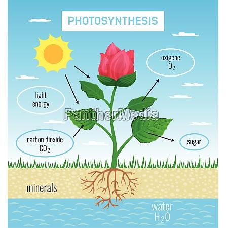biologische photosynthese rolle in pflanzenwachstum flache