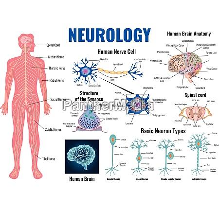 neurologie und anatomie des menschlichen gehirns