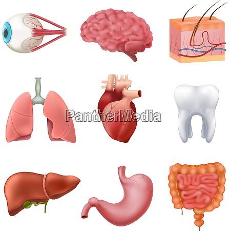 menschliche innere organe anatomie realistisch set