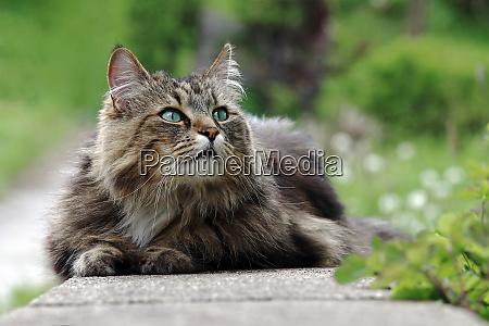 a pretty norwegian forest cat lies