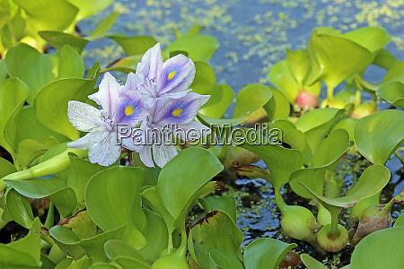 blooming water hyacinth eichhornia